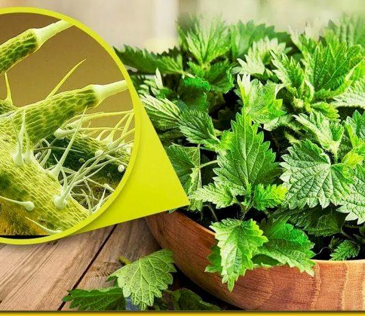 Кропива — трава вічної молодості і здоров'я. Народні рецепти і поради