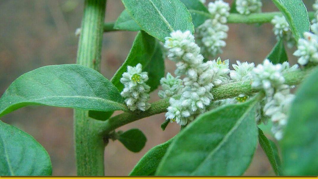 Пол-пола — лікувальна трава, яка замінює цілу аптеку