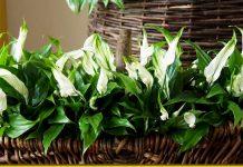 Правильний догляд за спатіфілумом - щоб квітка любові і достатку приносила радість