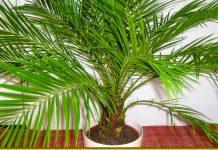 Фінікова пальма з кісточки — проста інструкція для любителів пишної зелені