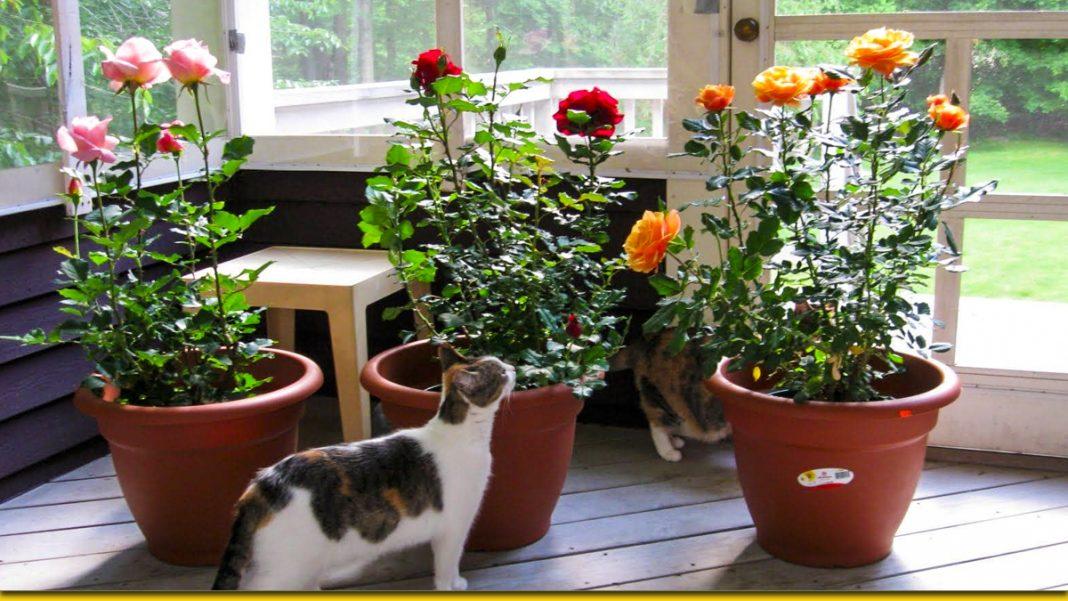 Троянда з картоплі — простий спосіб виростити кущ, що квітне