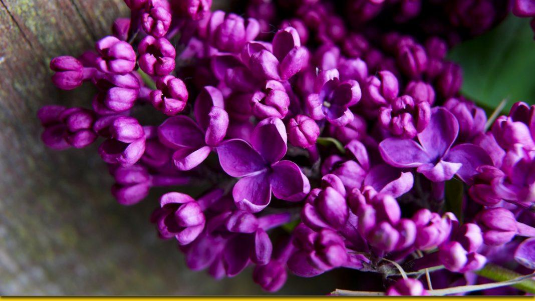 Цілющий бузковий цвіт — дивовижні рецепти народної медицини
