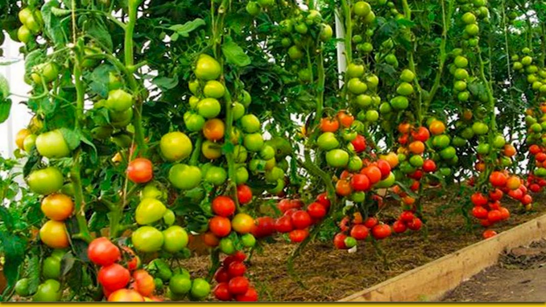 Кілька секретів для шикарного врожаю томатів — два відра з куща