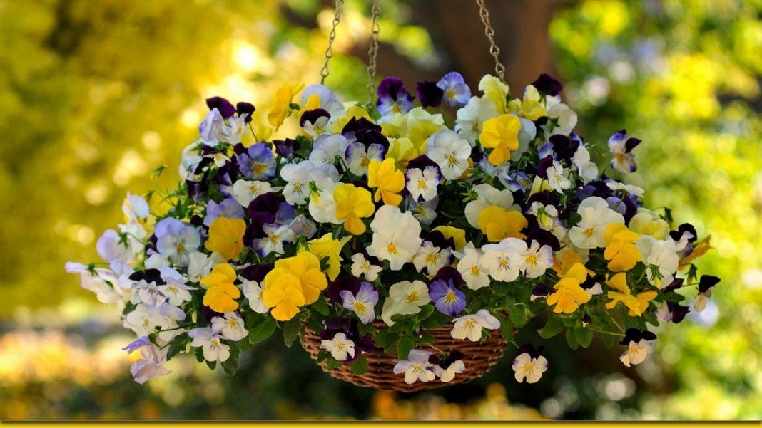 Два простих способи повернути фіалці пишне цвітіння