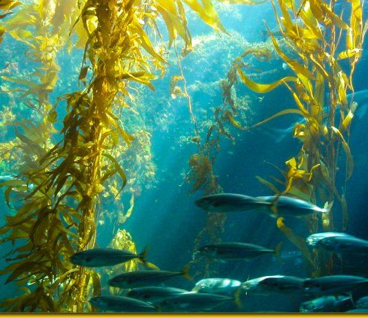 Ламінарія та її цілющі властивості — морське диво в дар від природи